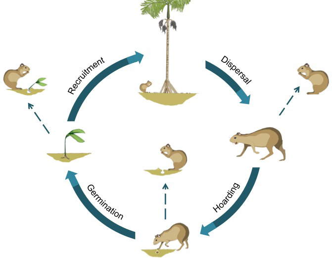 Simplified seed fate diagram for this system involving agoutis, seeds, and seedlings. The hoarding pathway (involving hoarding, dispersal, and predation) was considered in this study. Art by Erin K. Kuprewicz.