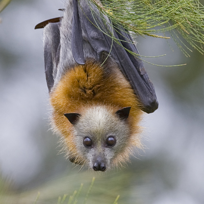 Doesn't like the heat… a grey-headed flying fox.