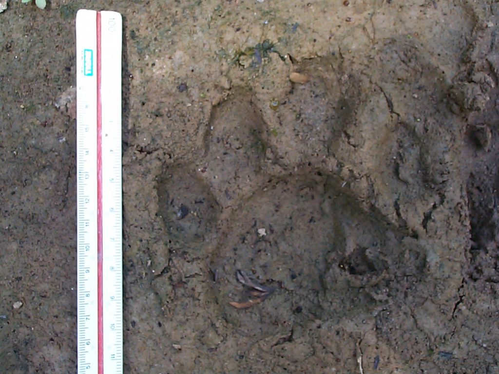 Jaguar track. Photo: Renata Leite Pitman.